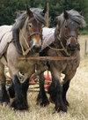 Trekpaarden-(Ansichtkaart-groot)