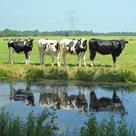 Koeien-in-de-rij
