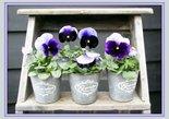 Trap-met-viooltjes-(Ansichtkaart)
