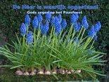 Pasen-blauwe-druifjes-(Ansichtkaart)
