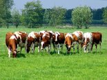 Roodbonte-koeien-(Ansichtkaart)