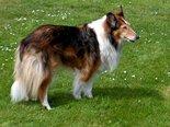 Lassie-(Ansichtkaart)