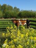 Koe bij hek (Ansichtkaart)
