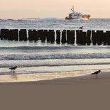 Scholeksters aan zee