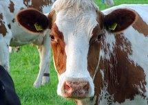 Koeiengroet (Ansichtkaart)