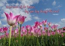 Tulpen, Dag aan dag (Ansichtkaart)