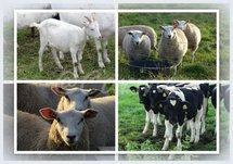 Boerderij-dieren (Ansichtkaart)