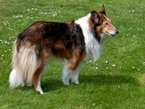 Lassie (Ansichtkaart)