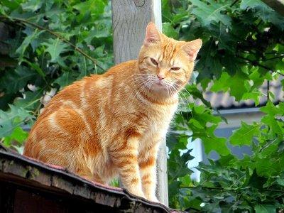 Oranje poes (Ansichtkaart)