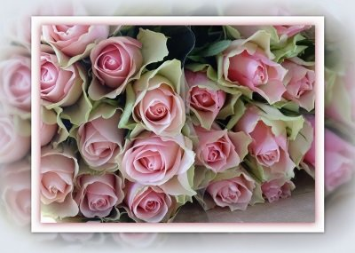 Roze rozen (Ansichtkaart)