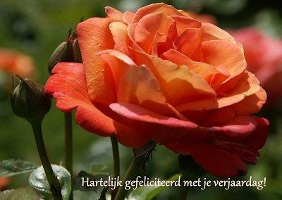 Felicitatie, oranje roos