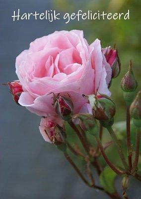Felicitatie, roos (Ansichtkaart)