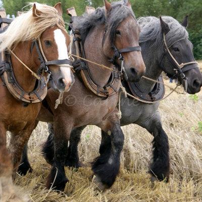 Trekpaarden, driespan