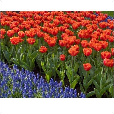 Tulpen en blauwe druifjes