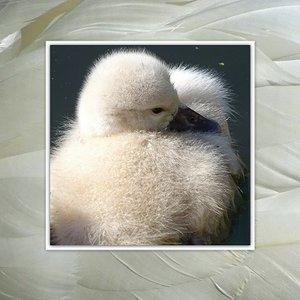 Klein zwaantje