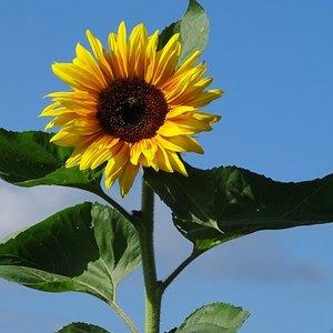 'Grote zonnebloem', Fotokaart nr. BL-21