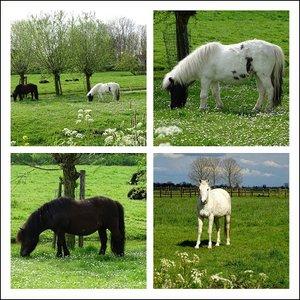 Paarden. Fotokaart nr. DI-30